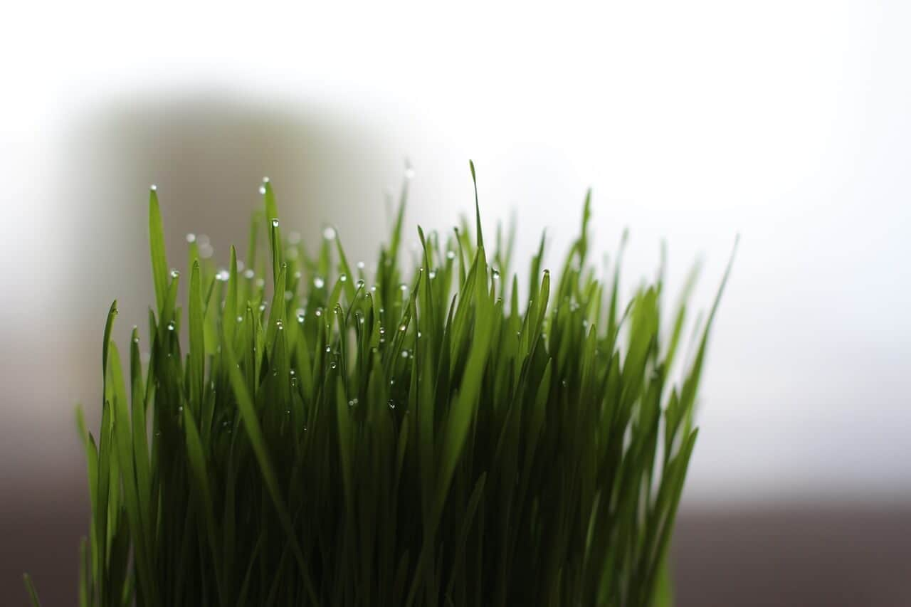 Wheatgrass Best Vegetables to Juice