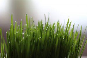 Wheatgrass Energy Booster