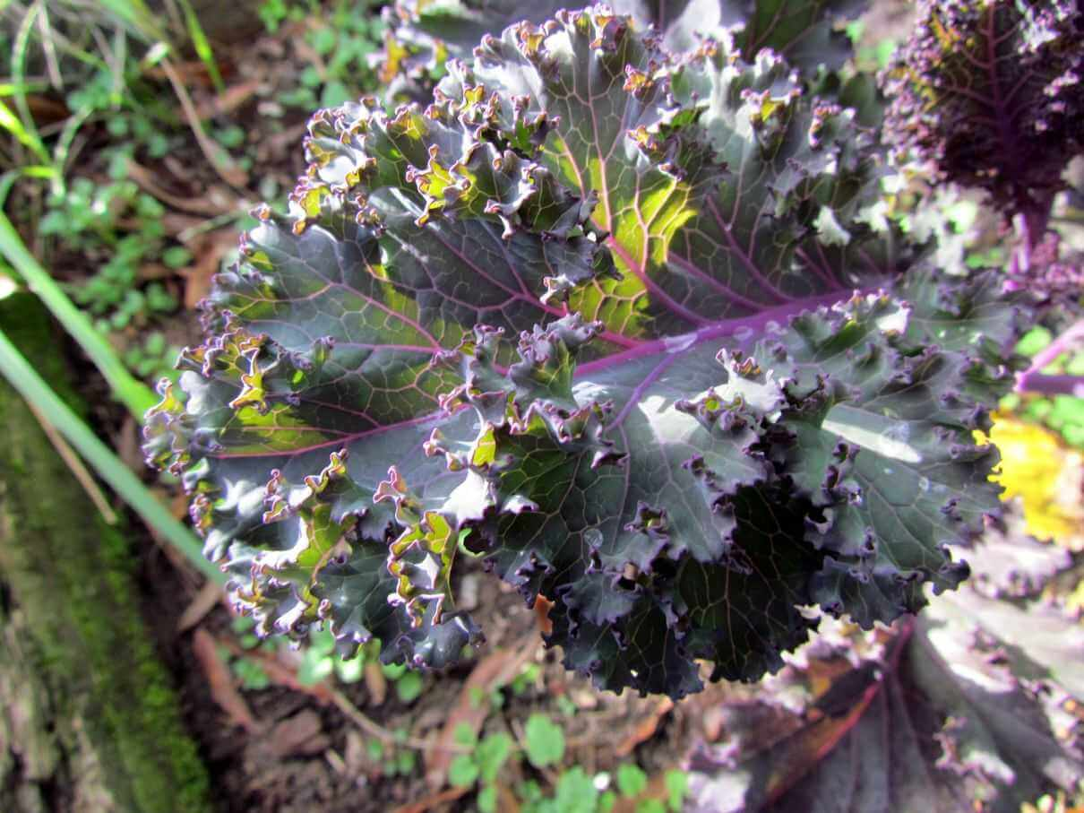 Red Russian Kale for Juicing