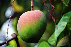 Can You Eat Mango Skin