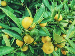 Lemons Make Fresh Juice Last Longer