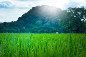 young barley grass aojiru