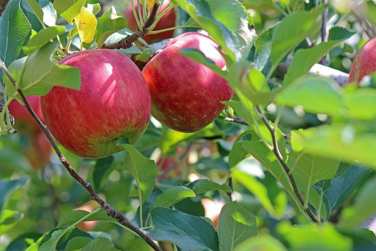 Is It Safe to Juice Apple Seeds