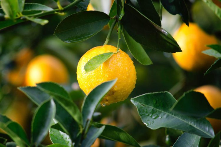 Does Lemon Juice Kill Bacteria